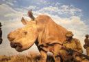 Animales #51 – Rinoceronte Blanco del Norte