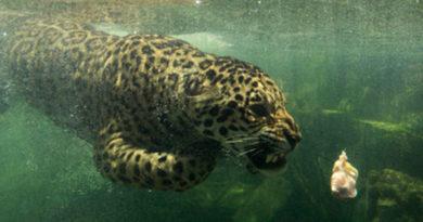 Animales #56 – Jaguar nadando